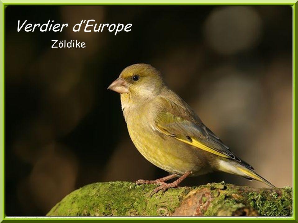Verdier d'Europe Zöldike