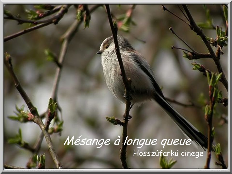 Mésange à longue queue Hosszúfarkú cinege