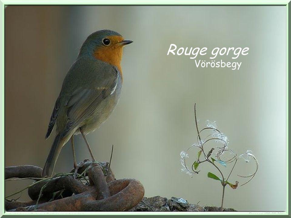 Rouge gorge Vörösbegy