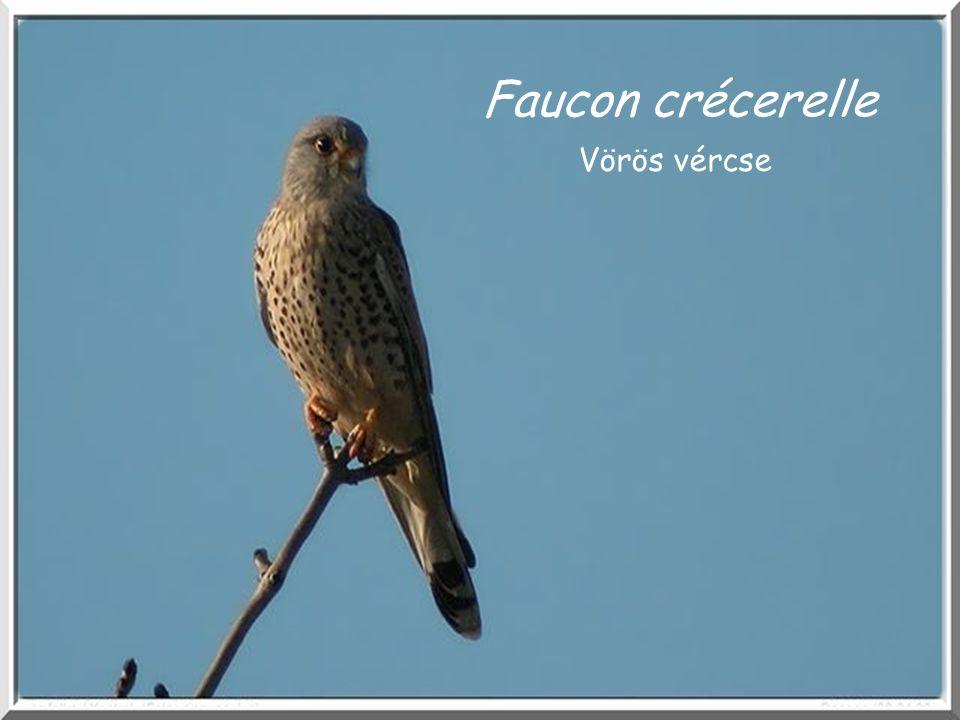 Faucon crécerelle Vörös vércse