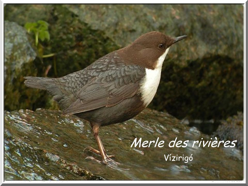 Merle des rivières Vízirigó