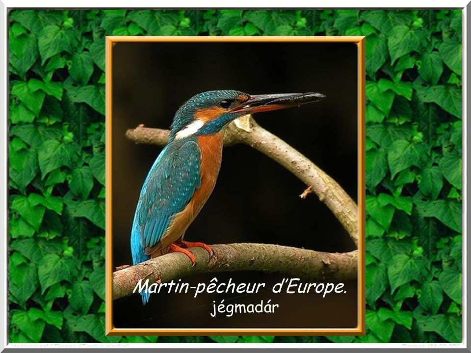 Martin-pêcheur d'Europe.