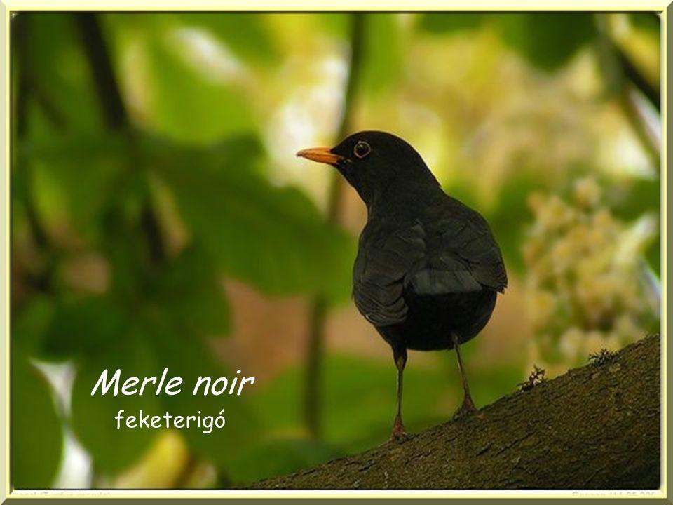 Merle noir feketerigó
