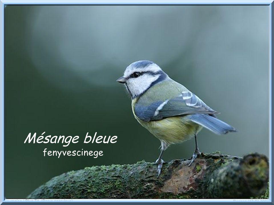 Mésange bleue fenyvescinege