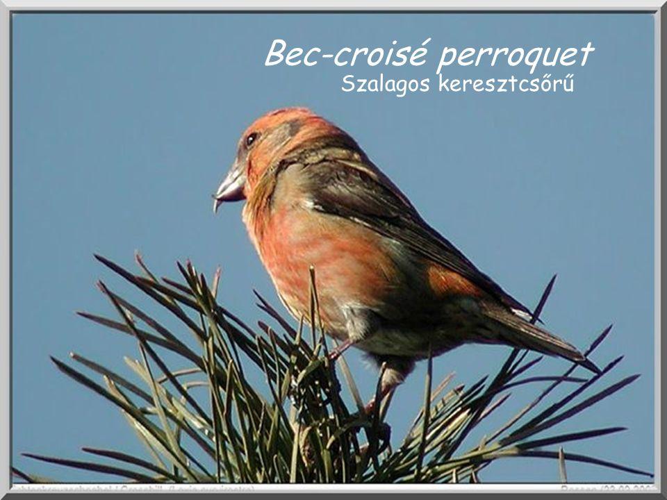 Bec-croisé perroquet Bec-croisé. Szalagos keresztcsőrű