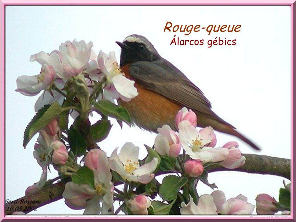 Rouge-queue Rouge –queue. Álarcos gébics