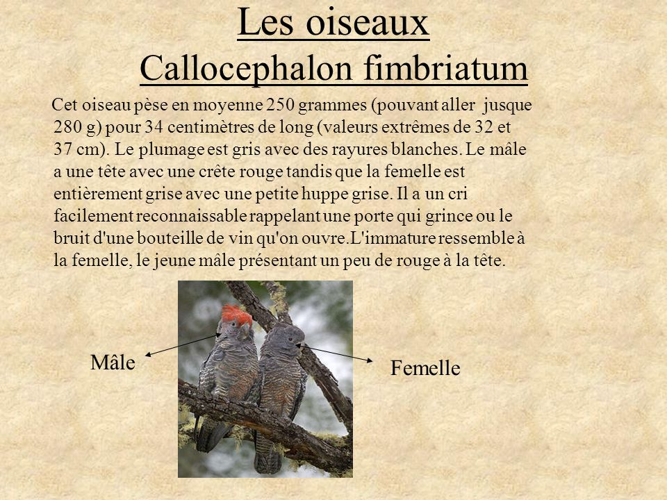 Les oiseaux Callocephalon fimbriatum