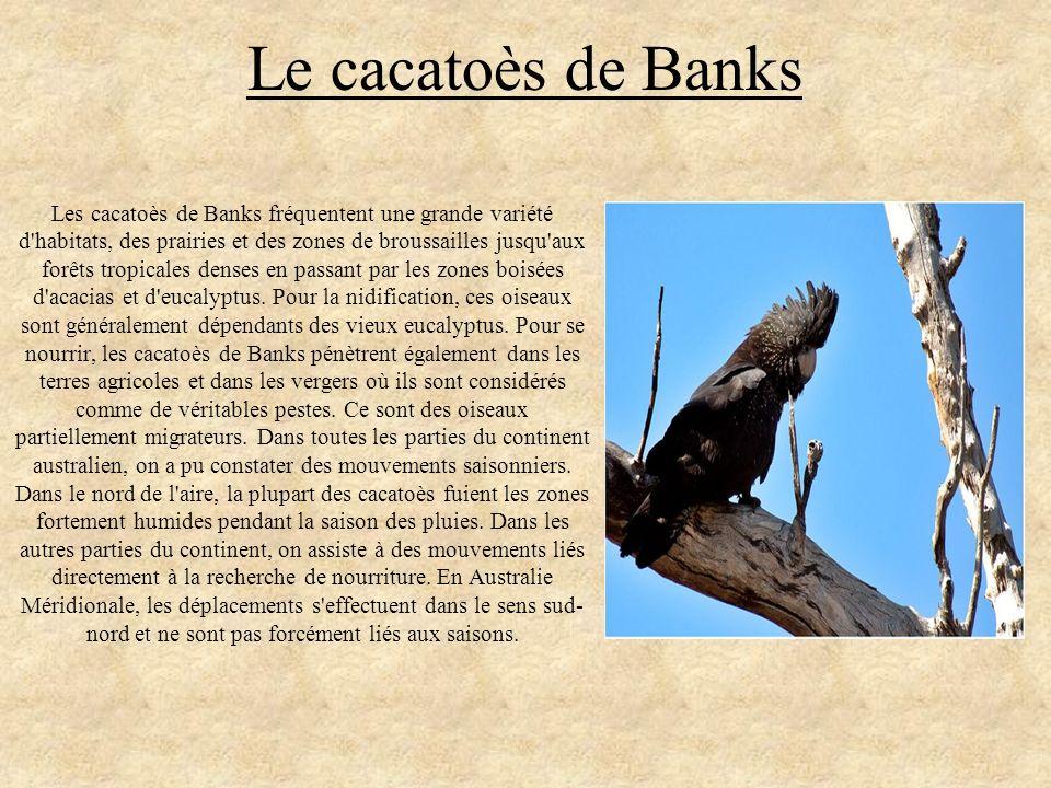 Le cacatoès de Banks