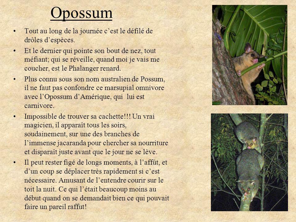 Opossum Tout au long de la journée c'est le défilé de drôles d'espèces.