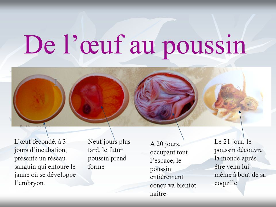 De l'œuf au poussin L'œuf fécondé, à 3 jours d'incubation, présente un réseau sanguin qui entoure le jaune où se développe l'embryon.