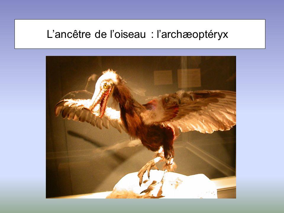 L'ancêtre de l'oiseau : l'archæoptéryx