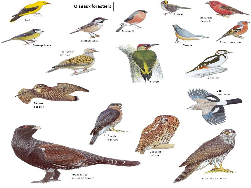 Oiseaux forestiers Roitelet Bec croisé Loriot des sapins Bouvreuil
