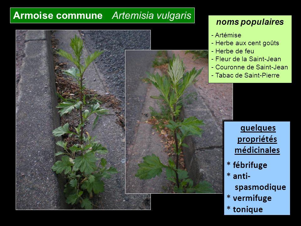 Armoise commune Artemisia vulgaris