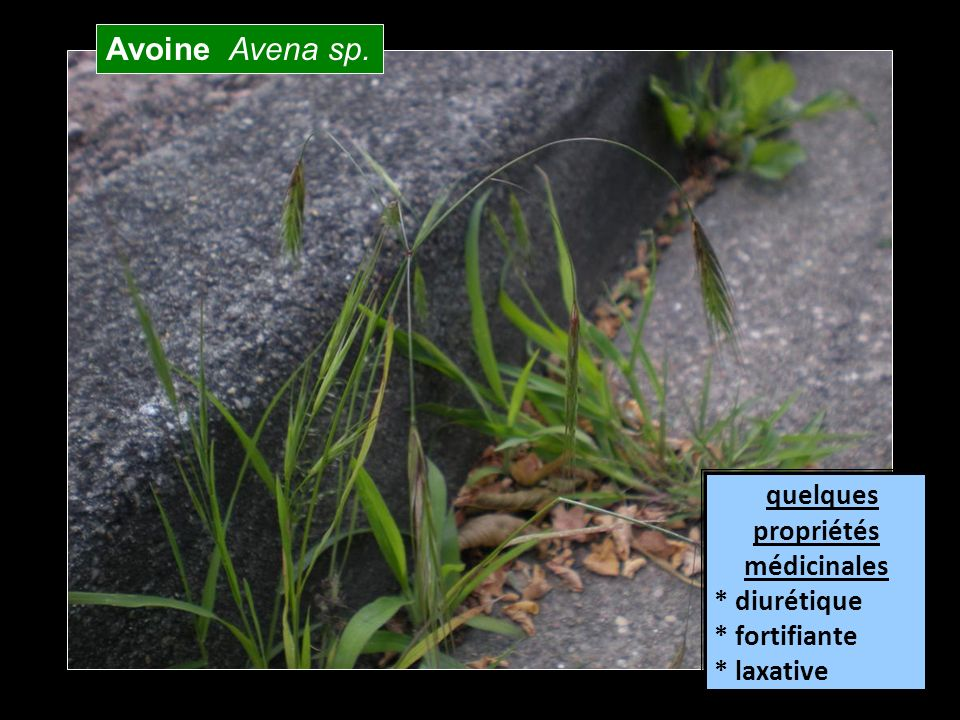 Avoine Avena sp. quelques propriétés médicinales * diurétique