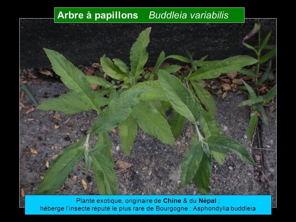 Plante exotique, originaire de Chine & du Népal ;