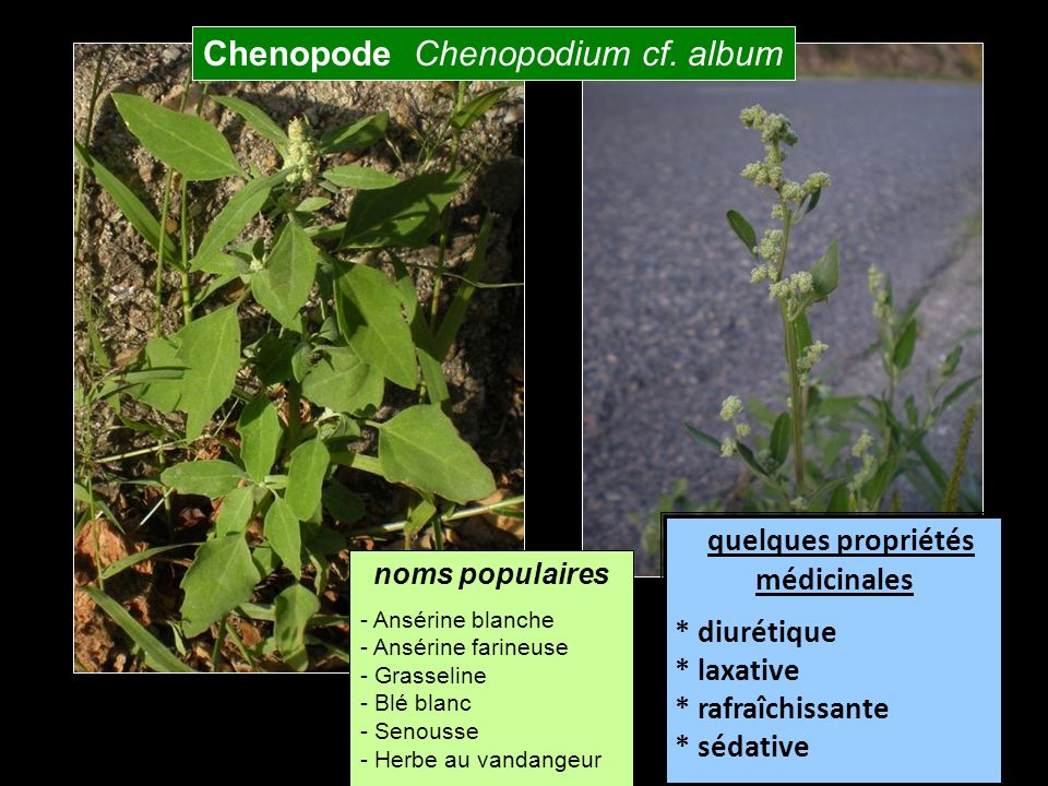 Chenopode Chenopodium cf. album
