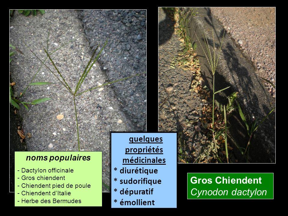 Gros Chiendent Cynodon dactylon quelques propriétés médicinales