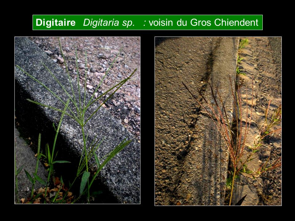 Digitaire Digitaria sp. : voisin du Gros Chiendent