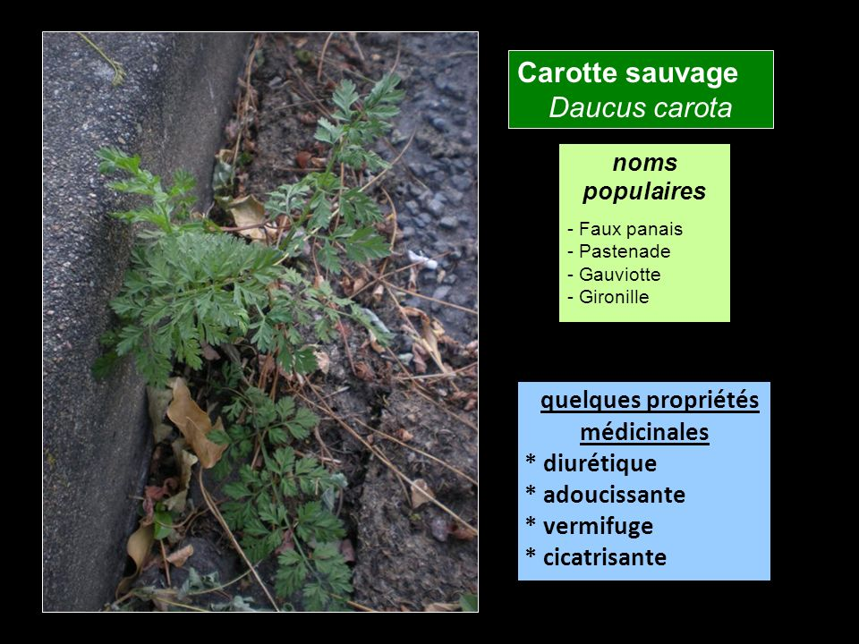 Carotte sauvage Daucus carota quelques propriétés médicinales