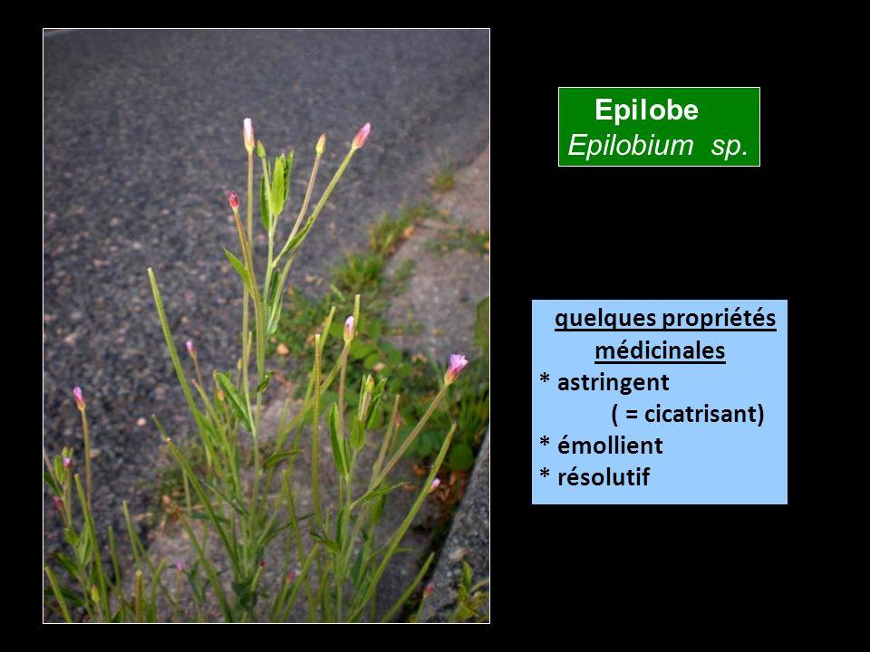 Epilobe Epilobium sp. quelques propriétés médicinales * astringent