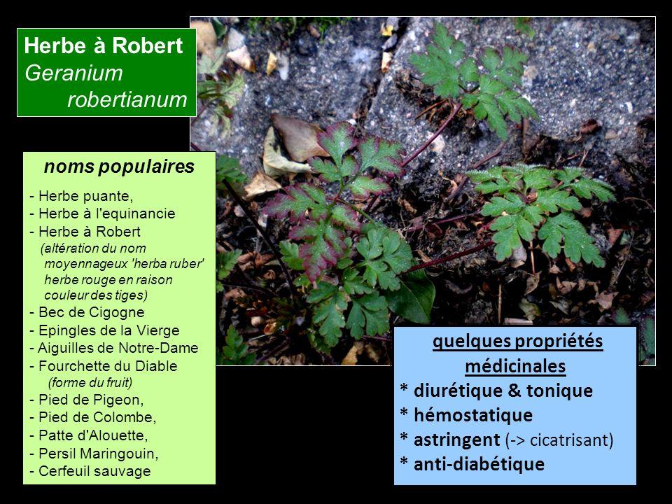 Herbe à Robert Geranium robertianum quelques propriétés médicinales