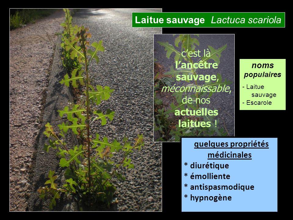 Laitue sauvage Lactuca scariola