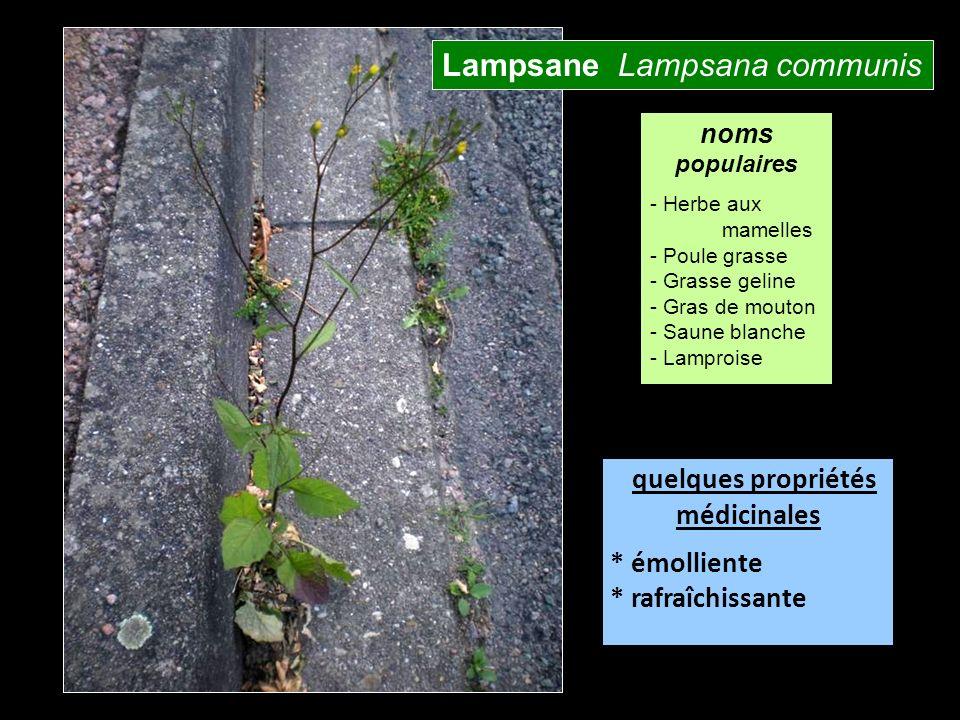 Lampsane Lampsana communis