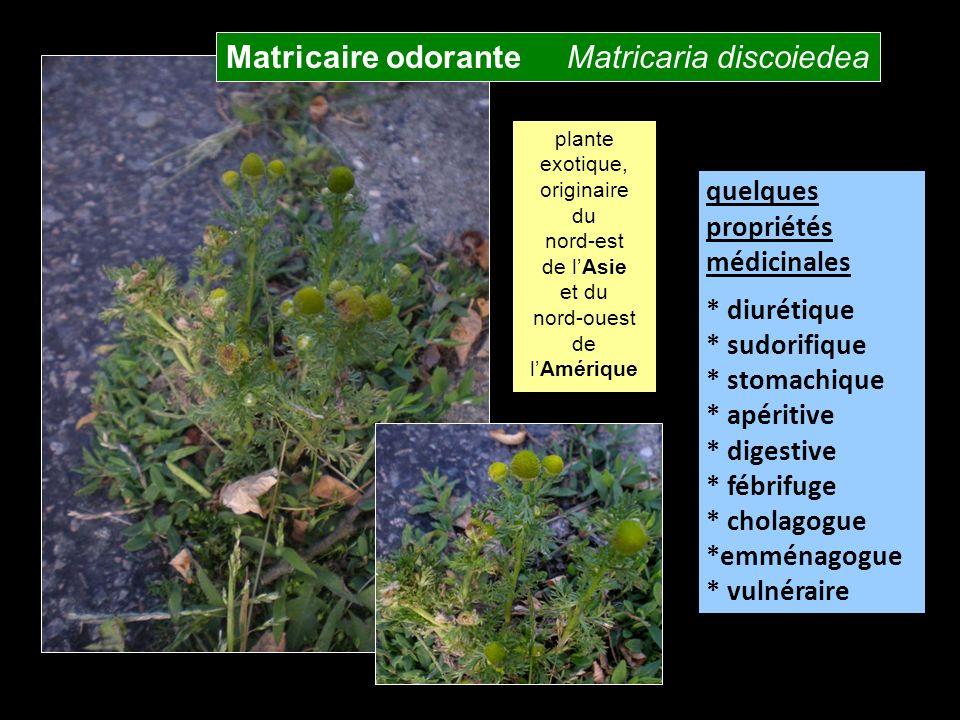 Matricaire odorante Matricaria discoiedea
