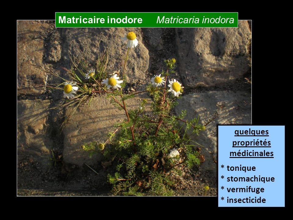 Matricaire inodore Matricaria inodora