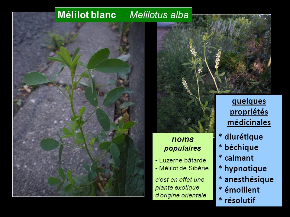 Mélilot blanc Melilotus alba