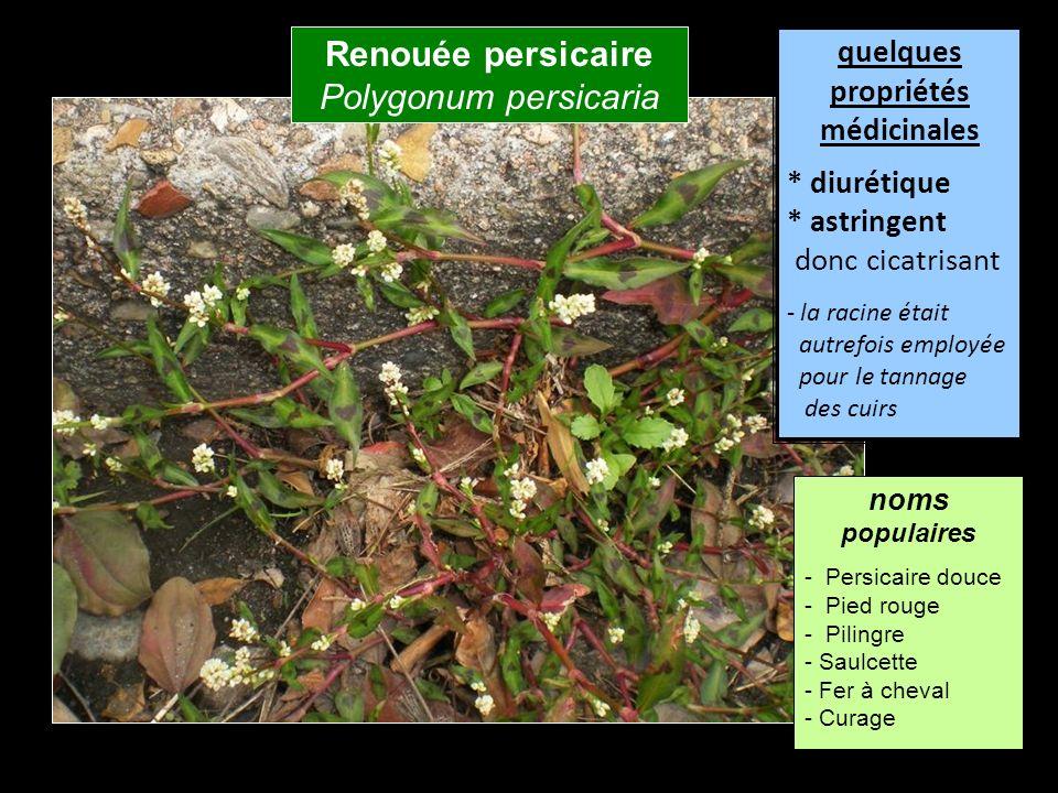 Renouée persicaire Polygonum persicaria quelques propriétés