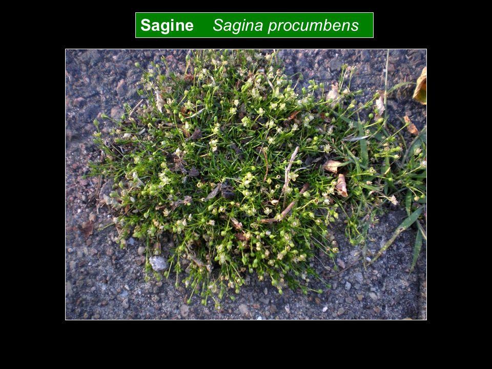 Sagine Sagina procumbens