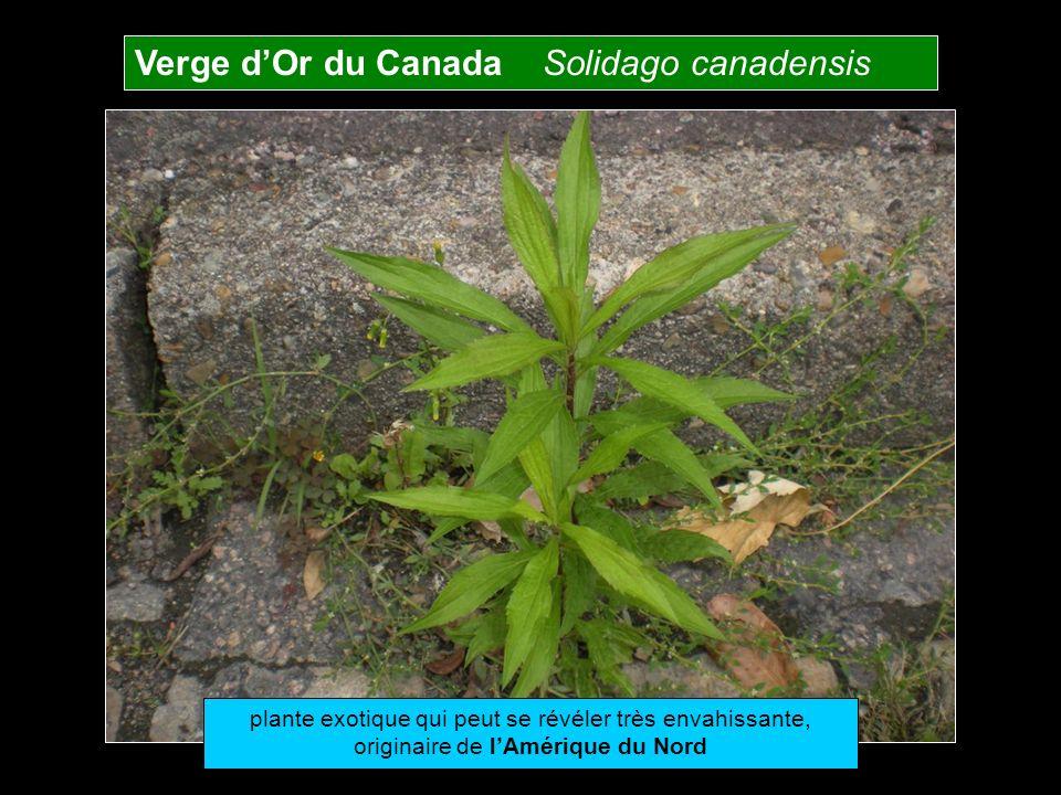 Verge d'Or du Canada Solidago canadensis