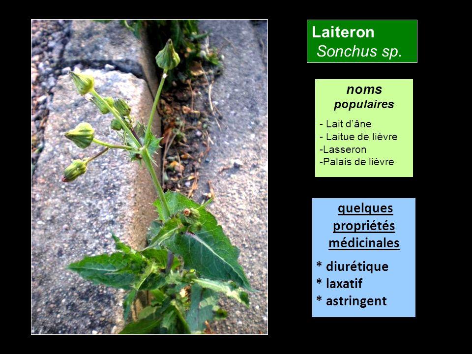 Laiteron Sonchus sp. quelques propriétés médicinales * diurétique