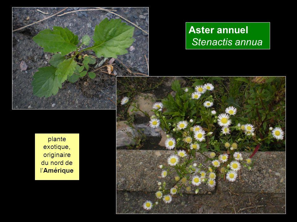 Aster annuel Stenactis annua plante exotique, originaire