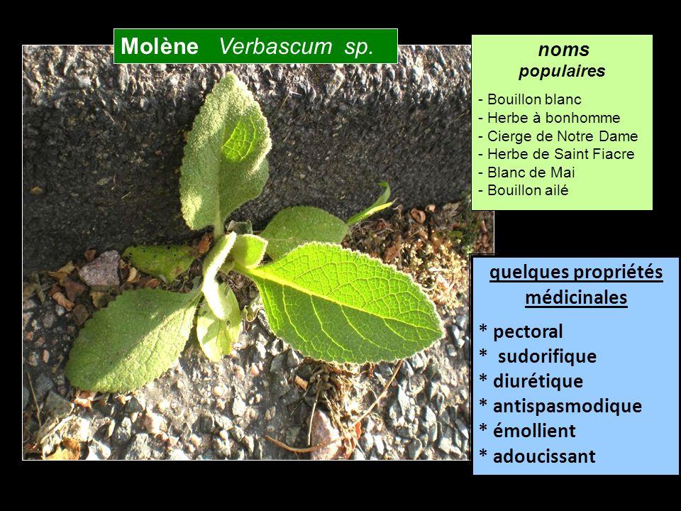 Molène Verbascum sp. quelques propriétés médicinales * pectoral