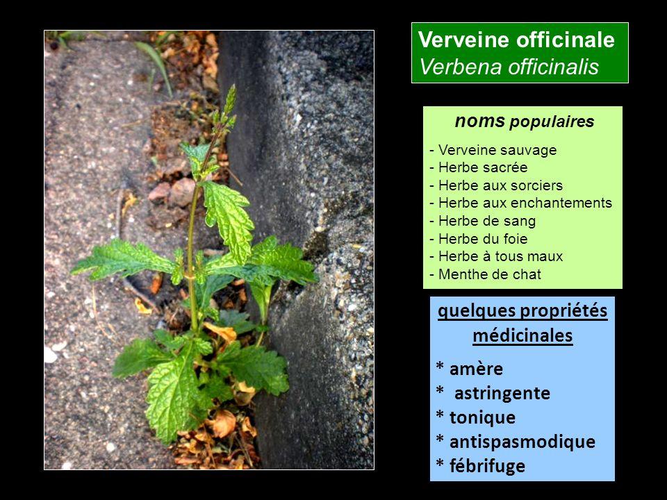 Verveine officinale Verbena officinalis quelques propriétés
