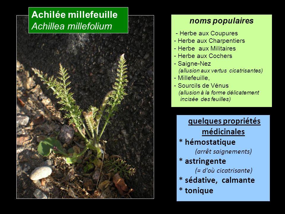 Achilée millefeuille Achillea millefolium quelques propriétés