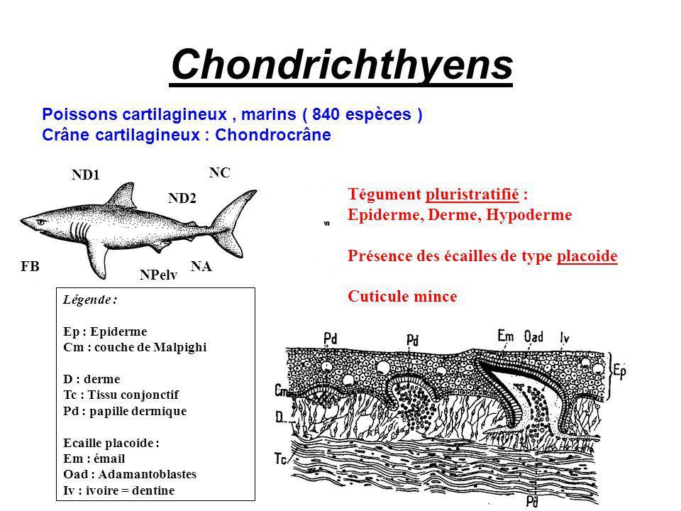 Chondrichthyens Poissons cartilagineux , marins ( 840 espèces )