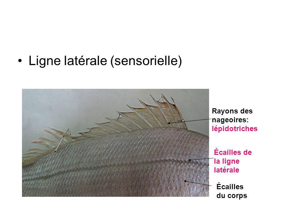 Ligne latérale (sensorielle)