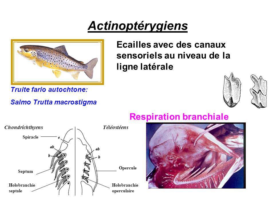 Actinoptérygiens Ecailles avec des canaux sensoriels au niveau de la ligne latérale. Truite fario autochtone: