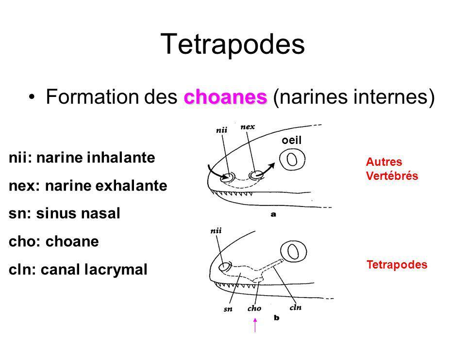 Tetrapodes Formation des choanes (narines internes)