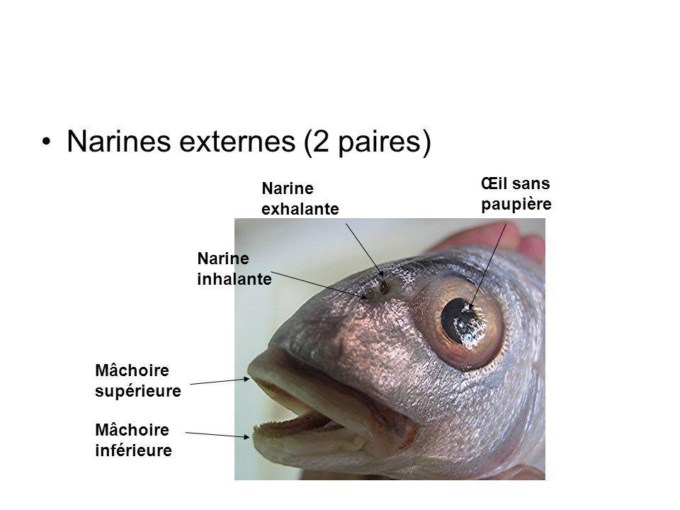 Narines externes (2 paires)