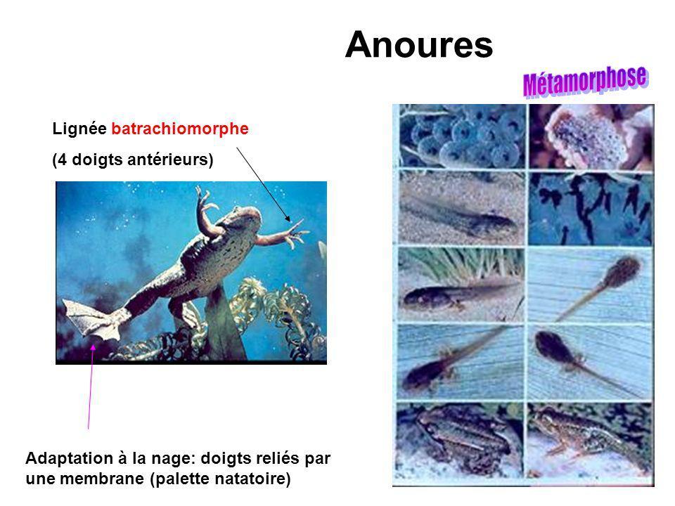 Anoures Métamorphose Lignée batrachiomorphe (4 doigts antérieurs)
