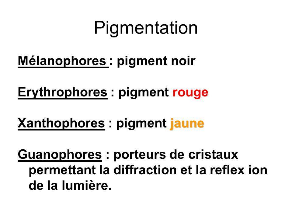 Pigmentation Mélanophores : pigment noir Erythrophores : pigment rouge