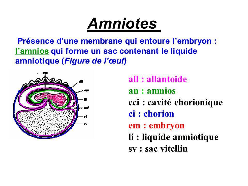Amniotes all : allantoide an : amnios cci : cavité chorionique
