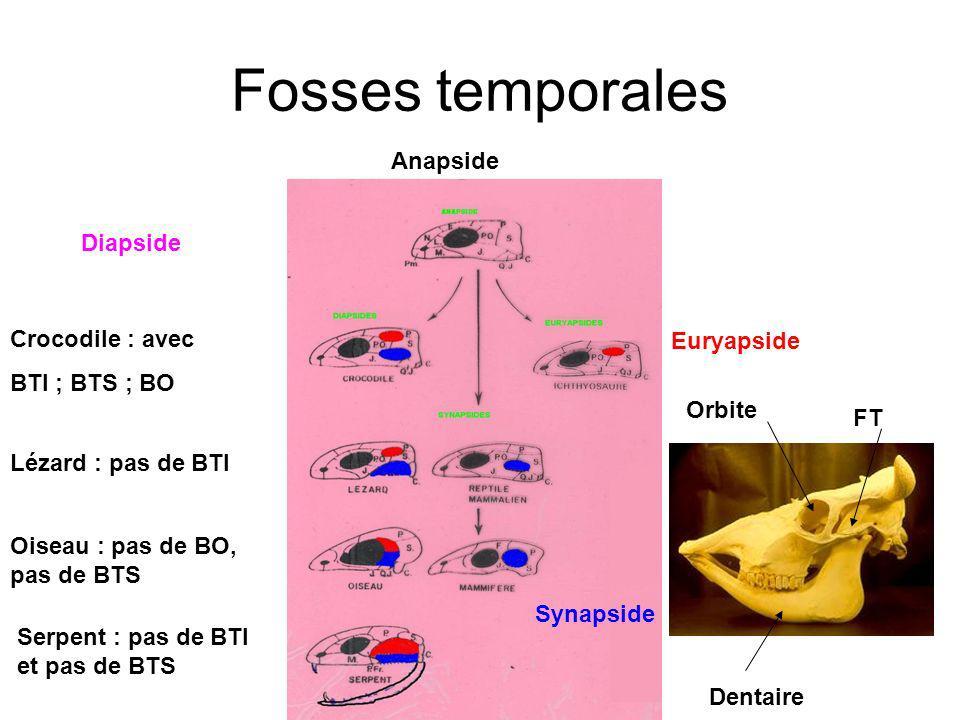 Fosses temporales Anapside Diapside Crocodile : avec Euryapside