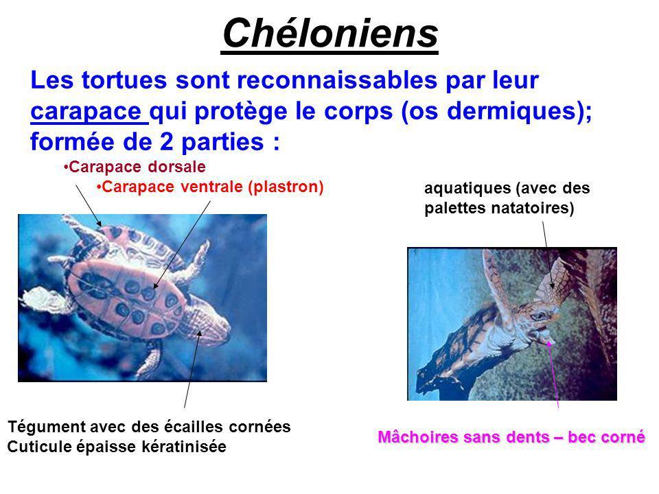 Chéloniens Les tortues sont reconnaissables par leur carapace qui protège le corps (os dermiques); formée de 2 parties :