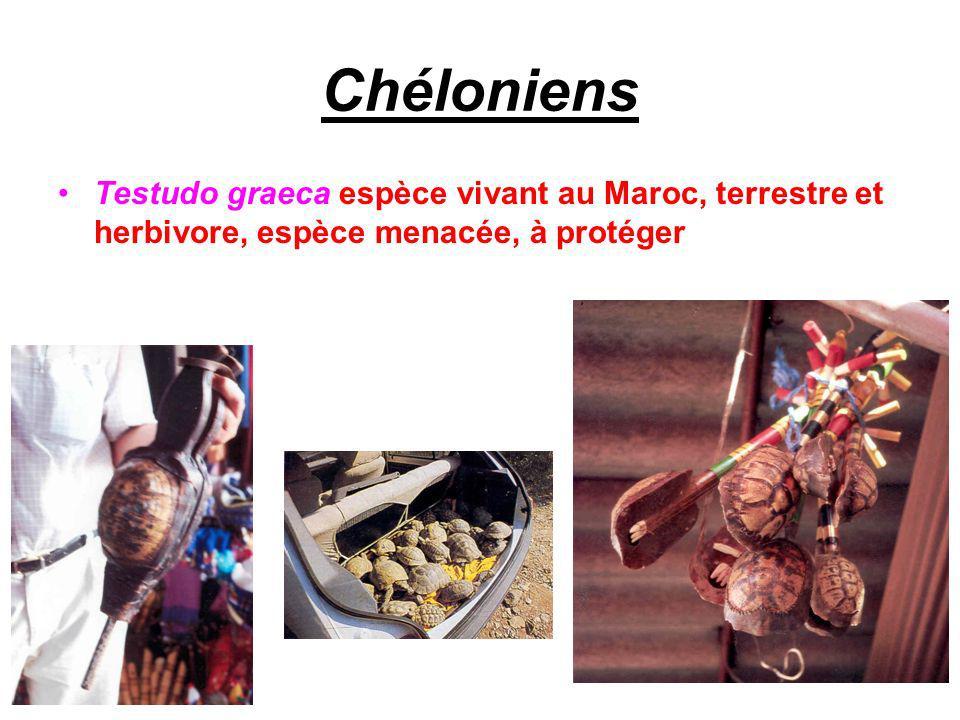Chéloniens Testudo graeca espèce vivant au Maroc, terrestre et herbivore, espèce menacée, à protéger.