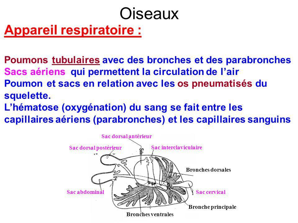 Oiseaux Appareil respiratoire :